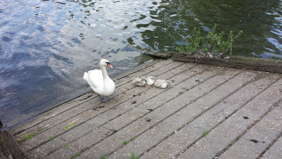 signets at Lincoln's Brayford Pool