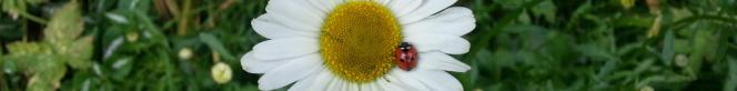 daisy with ladybird