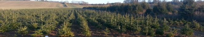 a field of 4 year old Christmas trees
