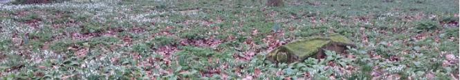 snowdrops in graveyard