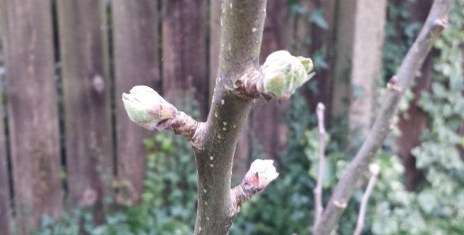 buds of april